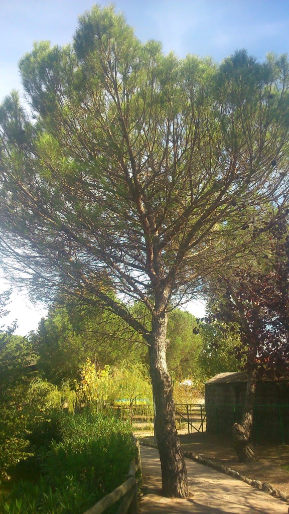 Pinus pinea. Fuente: Propia.