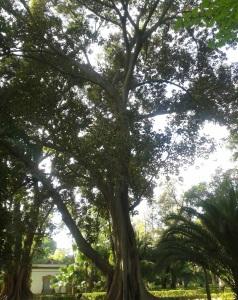 arbol de las lianas