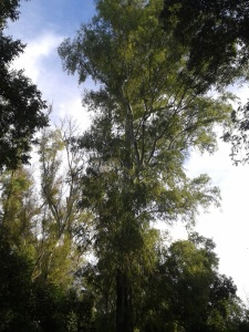 eucalipto rojo