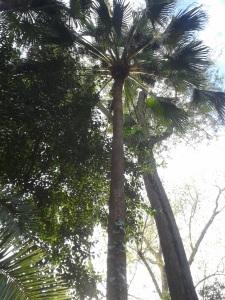 palmera latania