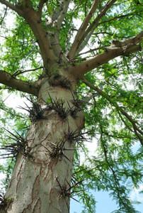 Imagen 11. Acacia de tres espinas. Fuente: www.uam.com