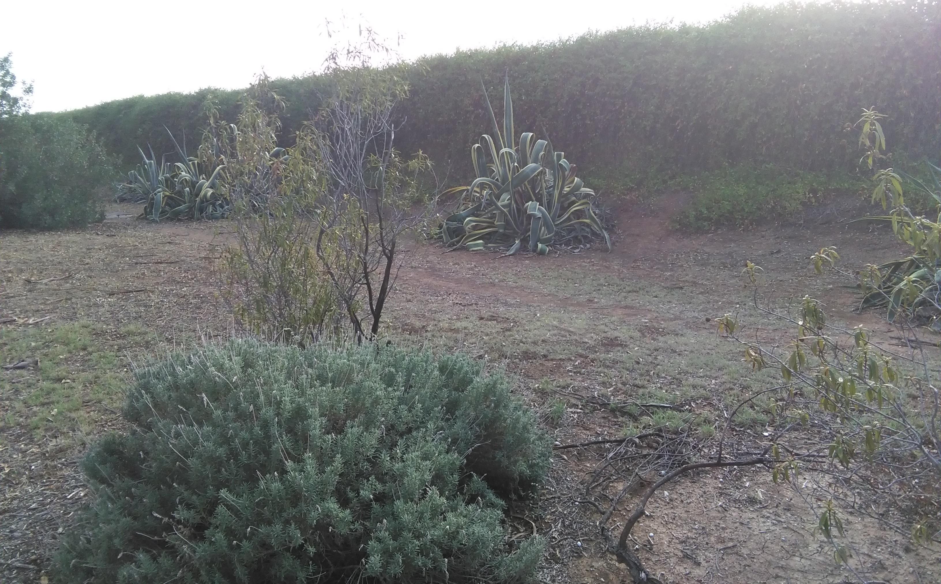 Fig. 8. Arbustos con dos ejemplares de Agave americana.