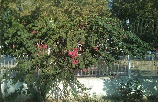 Imagen 9. Imagen de la trepadora Buganvilla. Fuente: Propia.