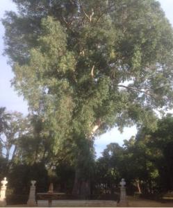 Imagen 7. Gran ejemplar de eucalipto.
