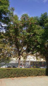 Imagen 6. Jacaranda mimosifolia, Jacaranda