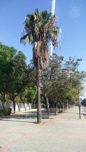 Imagen 7. Trachycarpus fortunei, palmera de la suerte.