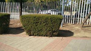 Imagen 20. Myrtus communis, mirto
