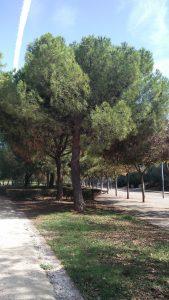 Imagen 8. Pinus pinea, pino piñonero.