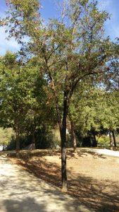Imagen 10. Ailanthus altissima, árbol del cielo