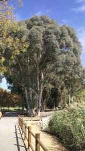 Imagen 16. Eucalyptus camaldulensis, eucalipto