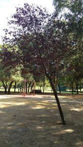 Imagen 17. Prunus cerasifera var. pisardii, ciruelo japonés