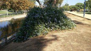Imagen 21. Plumbago auriculata, plumbago azul