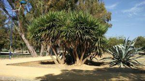 Imagen 19. Yucca elephantipes, Pie de elefante