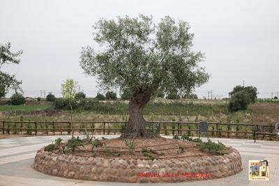 olivo-centenario-mio