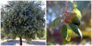 Imagen 11.- Quercus ilex y sus bellotas. Fuente: José Manuel Algeciras Muñoz.