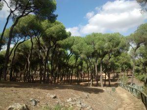 Fig 16. Bosque de pinos piñoneros. Fuente: RPDL