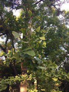 Imagen 13: Gingo o árbol de los cuarenta escudos.